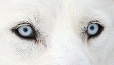 The Eyes Have It! Eyes of a Husky at an international dog sled race in Todtmoos, Germany.