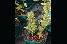 10 Tips for Auto-Flowering Pot Plants