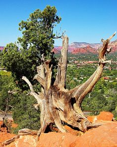 https://flic.kr/p/aBn5qg | Twisted Juniper on Approach to Airport Mesa Vortex - Sedona Arizona | www.lovesedona.com/01.htm I took my daughter and her friend Brenda on a tour of Sedona. We went up to the Airport Mesa Vortex. I convinced them that whenever the juniper trees are twisted like this that means we are at a Vortex. They believed me. Later I told them that all junipers like this are twisted like this. We just tell tourists that they are twisted because of the Vortex to perpetua...