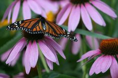 "http://pinterest.com/pin/create/button/?url=http://fineartamerica.com/featured/cone-flowers-and-monarch-butterfly-kay-novy.html=http://fineartamerica.com/images-medium/cone-flowers-and-monarch-butterfly-kay-novy.jpg ""Cone Flowers And Monarch Butterfly"" by Kay Novy.  http://kay-novy.artistwebsites.com/featured/cone-flowers-and-monarch-butterfly-kay-novy.html"