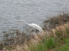 Great Egret fishing from the shore of Pretty Water Lake, Sapulpa, Oklahoma