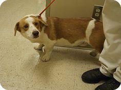Rome, GA - Corgi/Basset Hound Mix. Meet 13D-2433 (11/24) a Dog for Adoption.