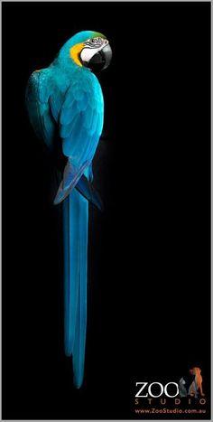 Blue and Gold Macaw - Zoo Studios: Animal Art Photography #animalphotography