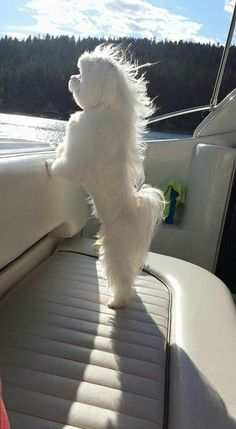 Maltese enjoying a boat ride