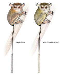 Jatna's tarsier Tarsius supriatnai n. sp. (left) and Gursky's spectral tarsier Tarsius spectrumgurskyae n. sp. (right).