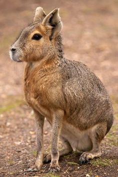 The maras (Dolichotis) are a genus of the cavy family. These large relatives of guinea pigs are common in the Patagonian steppes of Argentina but live in other areas of South America as well such as Paraguay. Maras are the fourth largest rodent in the world, after capybaras, beavers, and porcupines