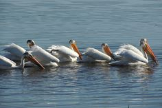 American White Pelicans ©Steve Frye. Wild Bird Company - Boulder, CO, Saturday Morning Bird Walk in Boulder County - May 21, 2016.