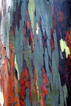 Rainbow Eucalyptus Tree bark, Fairchild Tropical Gardens in Miami, FL.