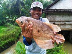 Cara Mudah dan Simpel Budidaya Ikan Gurame di Kolam Terpal
