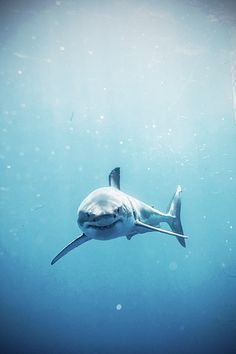 Great white shark cruising through water, staring at the camera Save The Sharks, All Sharks, Shark Pictures, Shark Bait, Orcas, Deep Blue Sea, Great White Shark, Ocean Creatures, Tier Fotos