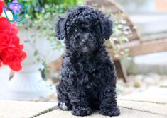 This adorable puppy will be the best Toy Poodle puppy you ever did meet! He is so cute that it will be love at first sight. This puppy is social and Toy Puppies For Sale, Toy Poodle Puppies, Maltese Poodle, Dogs For Sale, Toy Sale, Cute Puppies, Toy Poodles, Yorkie, Poodle Hair
