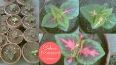 Veggies At Home: Coleus Transplant into Containers