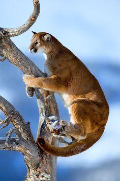 puma in tree by suha derbent wildlife photography