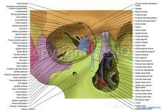 Cavidad orbitaria: Surco lagrimal, Fisura orbitaria superior, Fisura orbitaria Inferior, Conducto nasolagrimal