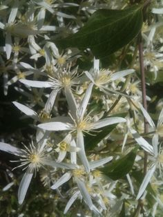 Clematis aristata - to grow over the fence (in the shade).
