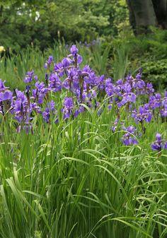 Dunkelviolette Sibirische Schwertlilie (Iris sibirica)