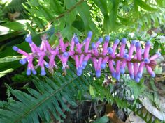 A Bromeliad - commonly known as Matchsticks.