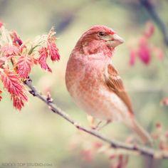 "Fine Art Bird Photography Print ""Purple Finch No. 1"""