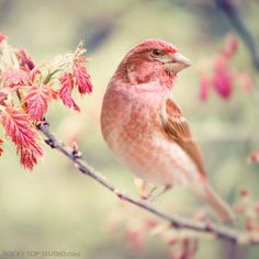 "Fine Art Bird Photography Print ""Purple Finch No. 1"""