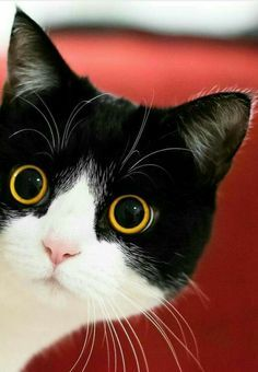 Outstanding funny cats detail are offered on our site. Funny Cute Cats, Cute Baby Cats, Cute Cats And Kittens, Cute Baby Animals, Cool Cats, Kittens Cutest, Animals And Pets, Funny Animals, Top Funny