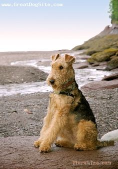 A photo of a 1 year old, Tan, Airedale Terrier - by the beach | GreatDogSite.com