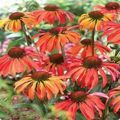 The Echinacea 'Summer Sun' is a brand new hybrid coneflower that blow you away with it's intense color. The blooms first open up to a red-orange then slowly lighten to a golden orange. Plants are tall enough to mix into the perennial border growing a little over e 3 feet in height but stay within their bounds very well with clumps growing to about 2 feet wide. The brightly colored, fragrant blooms are a butterfly magnet.