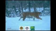 Rare Amur Tiger Family Captured On Camera | WCS