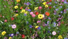 łąka kwietna byliny