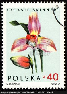Orchid Lycaste Skinneri on post stamp