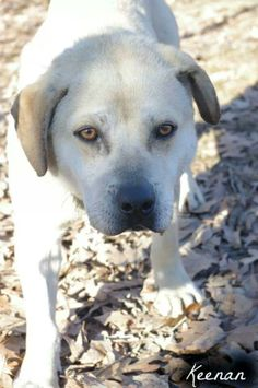 Keenan (ID #238) is a very scared male yellow Labrador mix who was found as a stray. If not claimed by his owner Keenan will be available for adoption on March 21Available on: 3/21Contact: mcdpdogs@gmail.comAll dogs are spayed/neutered before you...