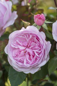 Rose Garden Olivia Rose Austin - New for David Austin English Roses - Fragrant Roses, Shrub Roses, William Ellis, Vanessa Bell, David Austin Rosen, Deadheading Roses, Rose Hedge, Rosen Beet, Olivia Rose