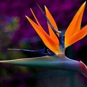 Fiori Uccelli Del Paradiso.Sterlizia Pianta Uccello Del Paradiso Piante Perenni Piante