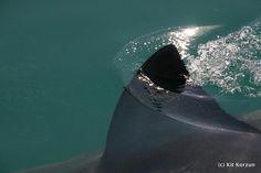 Great white shark #shark