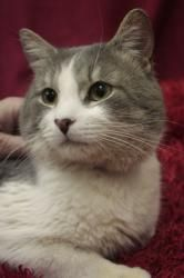 Owl is an adoptable Domestic Short Hair - Gray And White Cat in Blackwood, NJ. Owl is a 10 month old, male, grey and white tabby who looks like his name. He was found in Camden on 1/9/13. He talks t...