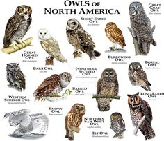 Fine art illustration of some of the species of owl native to North America