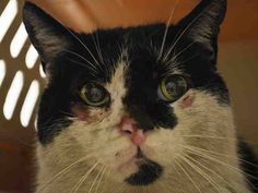 TO BE DESTROYED 4/24/15 *NYC* POOR GUY IS ALL SCRAPED UP! WHY?? * Brooklyn Center * Upon intake Jude displayed fearful body language, but allowed to be handled without displaying any signs of aggression. The behavior department believes that Jude can go to an experienced home- and he certainly deserves lots of TLC! * My name is JUDE. My Animal ID # is A1033468. I am a male white and black dom sh. I am about 5 YEARS old. I came in as a STRAY on 04/17/2015 from NY 11414