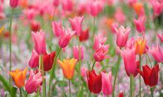 Spring Combination Ideas, Bulb Combinations, Plant Combinations, Flowerbeds Ideas, Spring Borders,Tulip Red Shine, Tulip Ballerina, Tulip China Pink, Lily Flowered tulips,Lily Flowering tulips,Tulipa Red Shine, Tulipa Ballerina,Tulipe China Pink