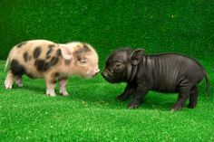 Two Tiny Pigs