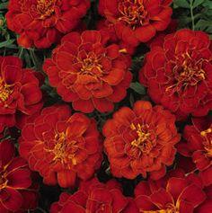 Durango red marigold. Companion plant in the veg garden.