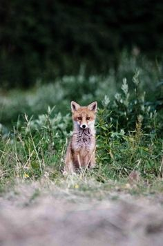 young red fox   animal + wildlife photography