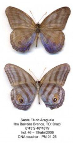 Post: Publicación: Radiación de mariposas Satyrini