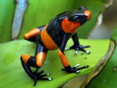 Red-banded Poison Frog  Cauca, Columbia  Photo by Thomas Marent on Pixdaus