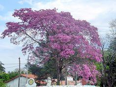 Isla Martín García - B.Aires - Lapacho en flor - ecm
