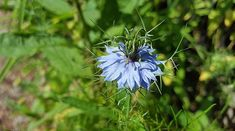 How to Grow Nigella Damascena, Growing Love-in-a-Mist plants and care about this plant. Nigella performs best in nutrient-rich, well-drained fertile soils. Nigella Sativa, Nigella Seeds, Planting Seeds, Planting Flowers, Flowering Plants, Forget Me Not Seeds, Very Beautiful Flowers, Ranunculus Flowers, Cottage Garden Plants
