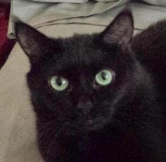 Meet Raven, a Petfinder adoptable Domestic Short Hair-black Cat | Chicago, IL | Green-eyed Raven [pictured] and golden-eyed Cassie are black beauty adoptables through Chicago Cat...