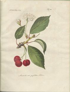 Amarelle mit gefüllter Blüte (Fruit, flowers and leaves from the sour cherry tree). Allgemeines teutsches Garten-Magazin oder gemeinnützige Beiträge für alle Theile des praktischen Gartenwesens' 1809 (General German Garden Magazine or Useful Articles about all Disciplines of Practical Gardening)
