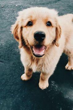 If there is anything that can prove there's at least an ounce of purity and good in this world, it's a Golden Retriever puppy. Check out these pictures of adorable Golden Retriever puppies and learn facts to see if they're right for your family! Cute Baby Animals, Animals And Pets, Funny Animals, Cute Dogs And Puppies, I Love Dogs, Doggies, Corgi Puppies, Labrador Puppies, Pomeranian Puppy