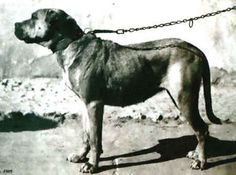 Cordoba Fighting Dog | 14 Extinct Dog Breeds You Will Never Get To Pet