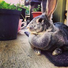 Chinchilla Gigantic Rabbit