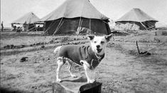 Horrie the Wog Dog, the four-legged mascot and campaigner attached to the Machine Gun Battalion, seen here standing on a fuel can wearing his Corporal's uniform. 'Horrie the Wog Dog' was a . War Dogs, Dog Search, Loyal Dogs, Anzac Day, World War One, North Africa, Four Legged, Beautiful Horses, Terrier